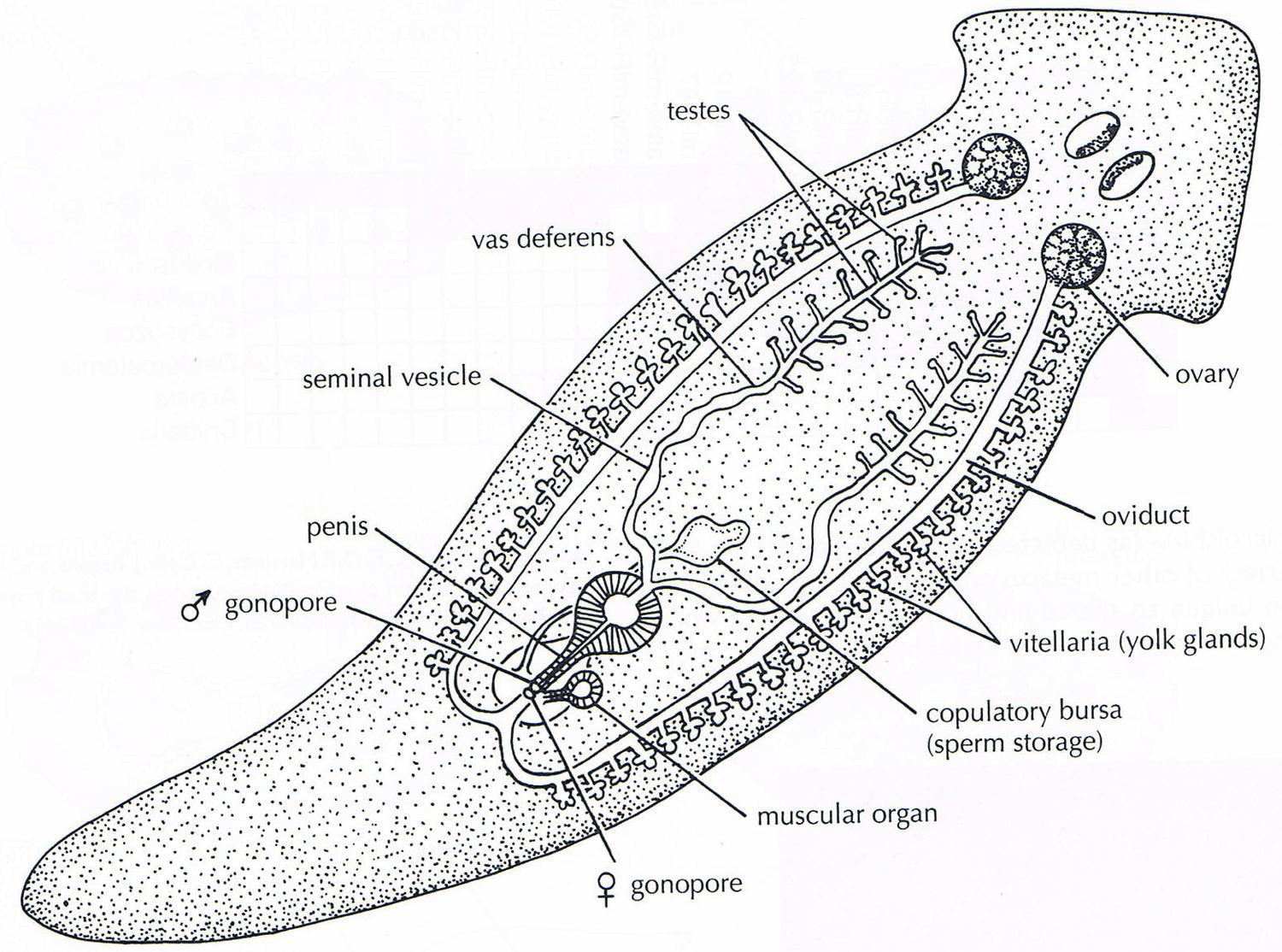 Flatworms And Roundworms Lesson