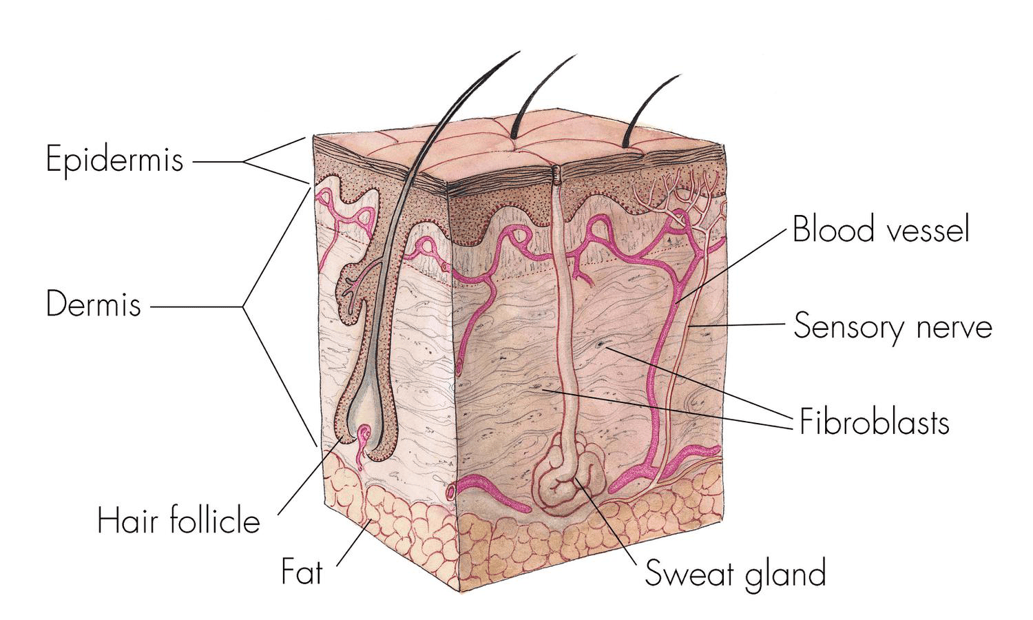 dermis layer diagram ford fiesta starter motor the integumentary system lesson 0384 tqa explorer what is outermost of skin called