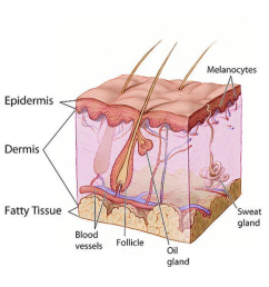 skin pigments are contained in what layer of the skin  [ 1024 x 1024 Pixel ]