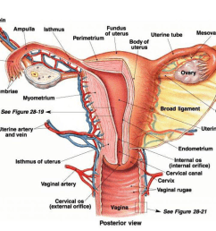 instructional diagrams description image this image shows the posterior view of female reproductive system  [ 1024 x 768 Pixel ]