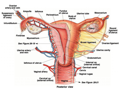 small resolution of instructional diagrams description image this image shows the posterior view of female reproductive system