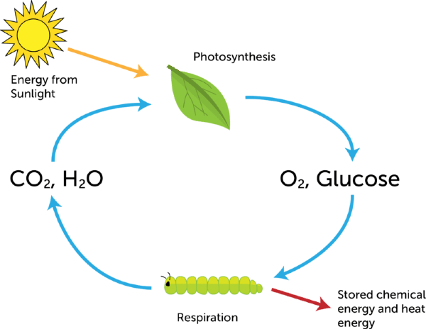 photosynthesis and cellular respiration cycle diagram 2004 pontiac grand am gt wiring biochemical reactions lesson 0789 tqa explorer