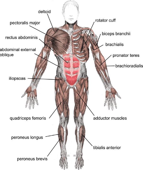 skeletal and muscular system diagram the water cycle worksheet lesson 0386 tqa explorer structure function of muscles