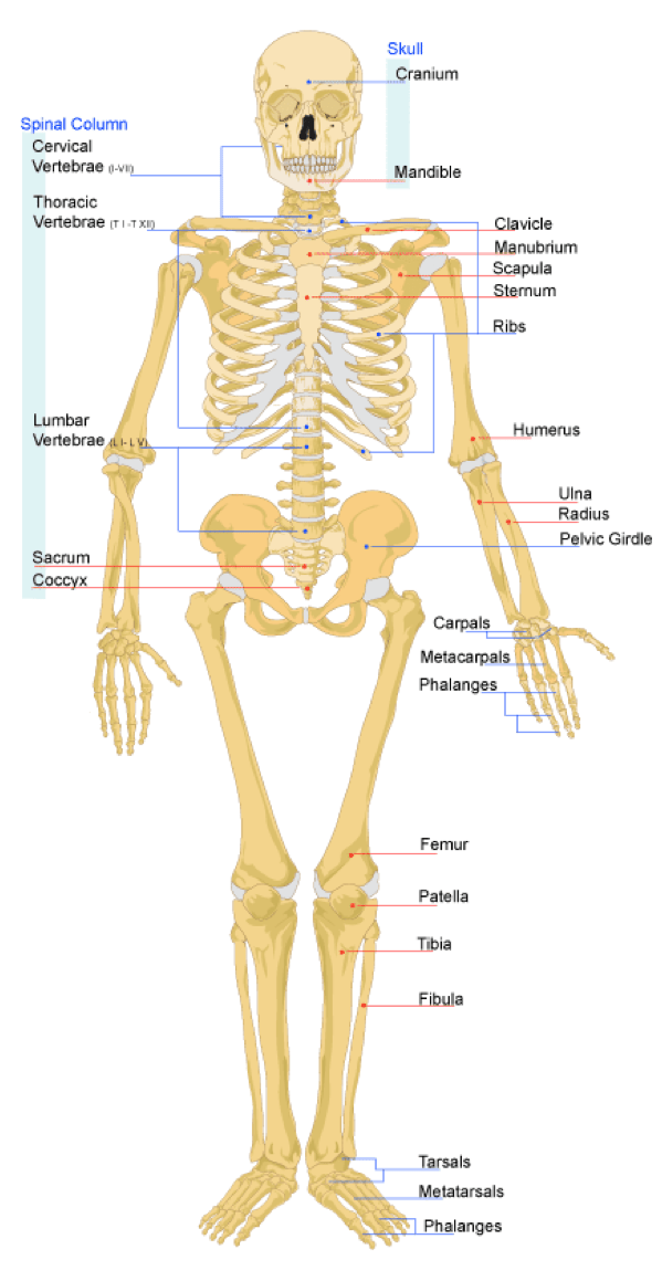 diagram of skeletal ribs blue sea dual battery switch wiring the system lesson 0385 tqa explorer bone structure