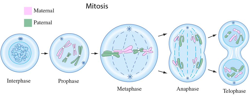 simple diagram of meiosis motorhome water systems mitosis interphase wiring online cell division lesson 0426 tqa explorer labeled how many phases come before