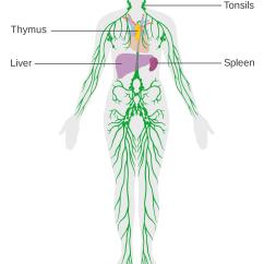 Immune System Diagram 2 Light Switch Wiring Defenses Lesson 0404 Tqa Explorer