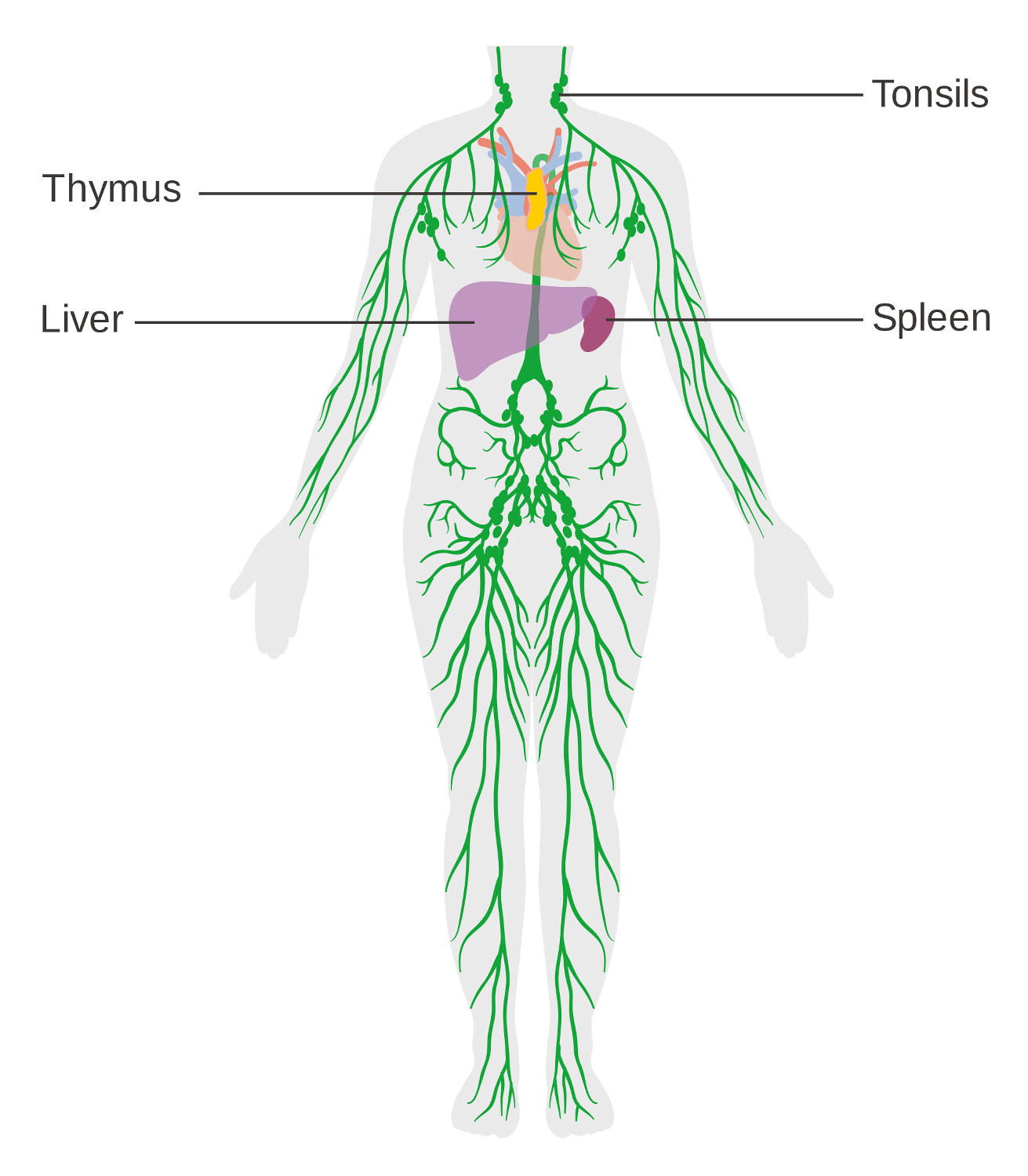 diagram nodes lymphatic system rheem electric water heater thermostat wiring immune defenses lesson 0404 tqa explorer