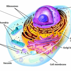 Endoplasmic Reticulum Animal Cell Diagram Ford 7 Way Rv Plug Wiring Structures Lesson 0422 Tqa Explorer How Many Parts Of The Are Shown In Picture