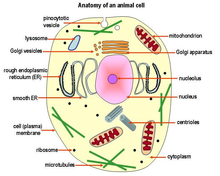 human cell wall diagram labeled how to make electrical wiring diagrams structures lesson 0422 tqa explorer anatomy of an animal b photosynthesis c energy wave d