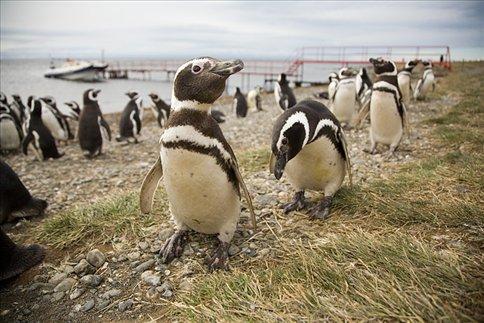 Isla Magdalena  Magellanpinguine  Chile  WorldNomadscom