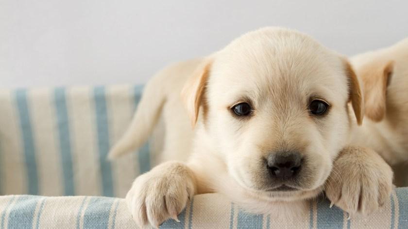 El CDC analizó a 150 cachorros y encontró bacterias resistentes a los antibióticos.