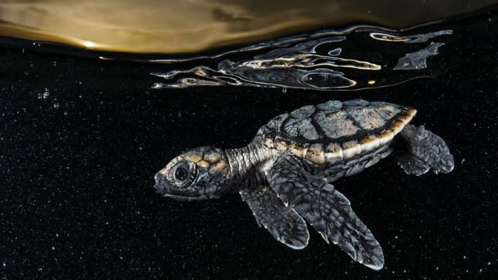 Cría de tortuga carey en peligro crítico de extinción