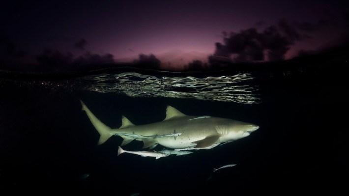 Para Doubilet, la interacción entre la luz y el agua no es algo para dejar librado al azar. Santuario de tiburones, Bahamas