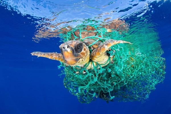 Naturaleza, primer premio.Una tortuga marina atrapada en una red pesquera enTenerife, Islas Canarias. Francis Perez, REUTERS