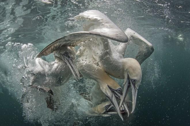 Cientos de gansos estaban dando vueltas al barco buscando los peces que estaban siendo arrojados por el costado en las aguas de Escocia, fue tomada por Richard Shucksmith