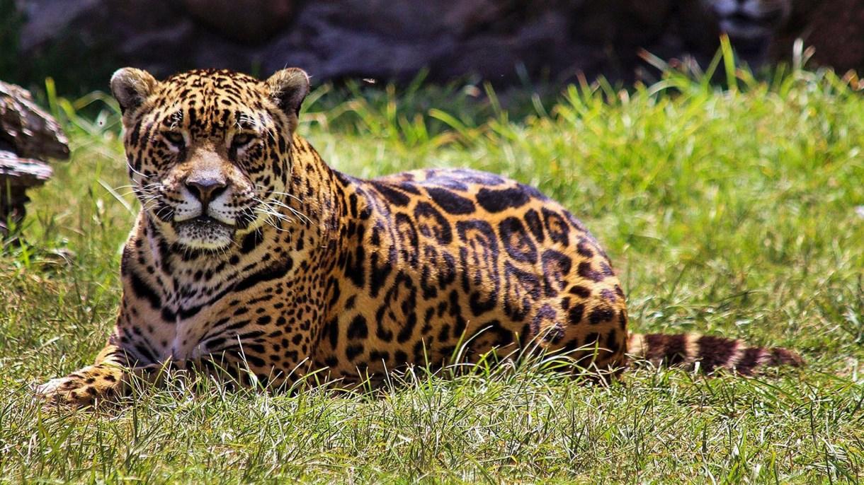 El yaguareté es el mayor felino americano y está en peligro de extinción