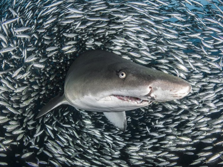 La fotógrafa dejo su trabajo corporativo para dedicarse a su mayor pasión, las fotografías subacuáticas, en especial de tiburones
