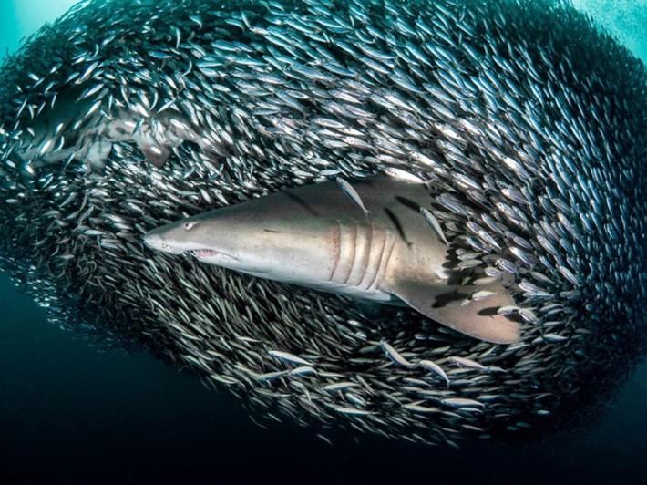 Este accionar no es aleatorio: los peces se agrupan de tal manera y rodean a un depredador como medida defensiva cuando se sienten amenazados. Se trata de un trabajo en conjunto para evitar ser devorados