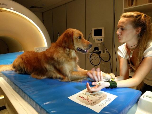 """Un perro """"golden retriever"""" llamado Barack interactúa con la investigadora Anna Gabor (Vilja y Vanda Molnár / The Washington Post)"""