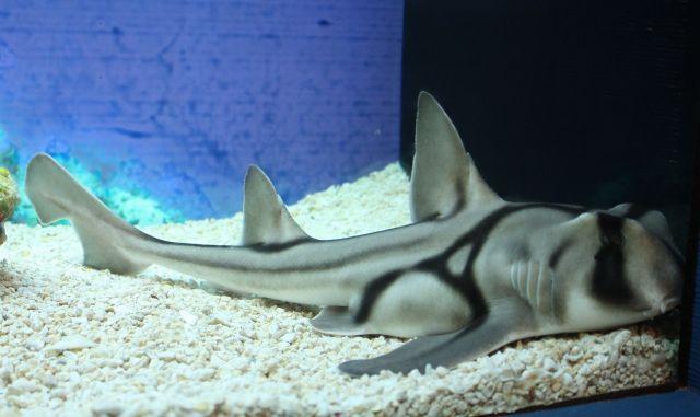 Un tiburón Port Jackson