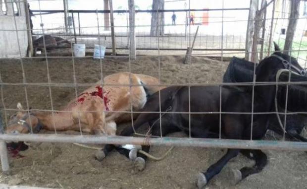 Dos de los caballos masacrados en Tamaulipas