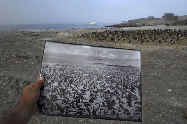 Back in Time – Atrás en el tiempo: una fotografía histórica de una colonia de pingüinos africanos, tomada a finales de la década de 1890, es un marcado contraste con la disminución de las cifras observadas en 2017 en el mismo lugar, en la isla Halifax, Namibia. La colonia una vez contaba con más de 100.000 pingüinos. (Thomas P. Peschak, Alemania)