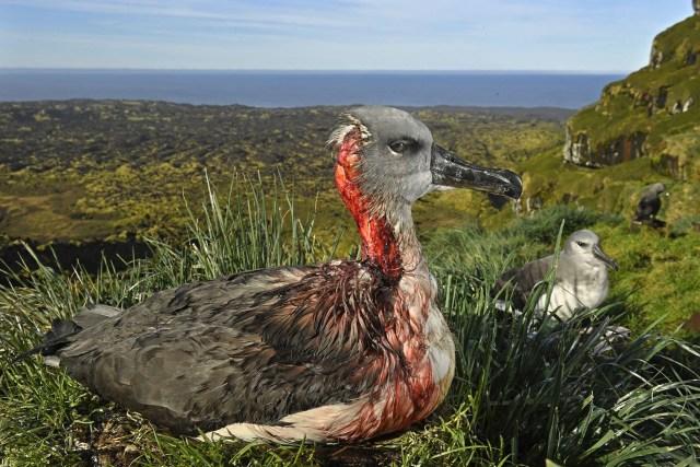 Attack of the Zombie Mouse – Ataque del ratón zombie: un albatros de cabeza gris juvenil en la Isla Marion, Territorio Antártico Sudafricano, queda herido después de un ataque de ratones de una especie invasora que ha comenzado a alimentarse de pollitos de albatros y juveniles vivos. (Thomas P. Peschak, Alemania)