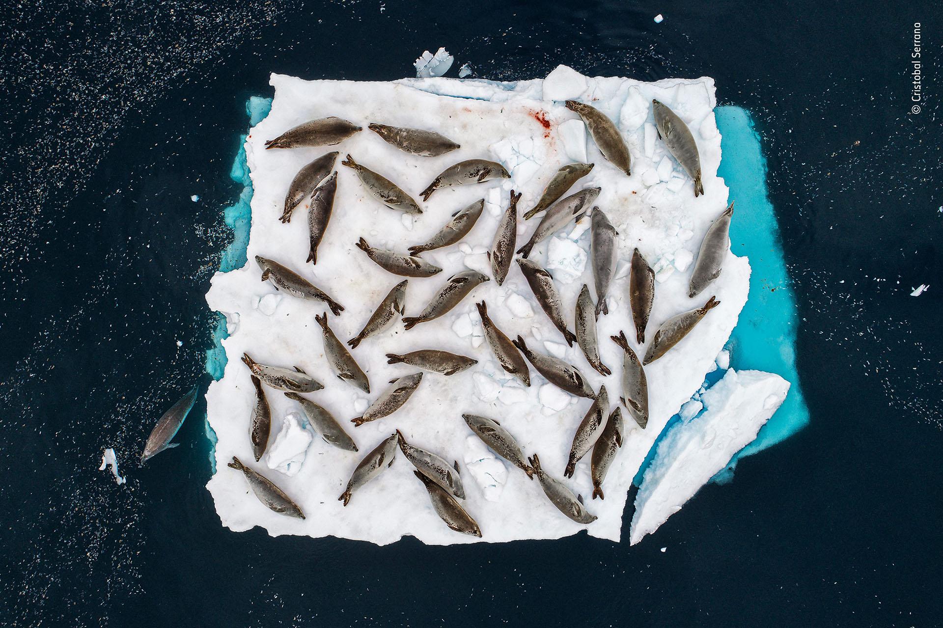 """Cristobal Serrano (España), categoría Animales en su entorno. """"Cama de focas"""", tomada desde un pequeño drone en la península antártica"""