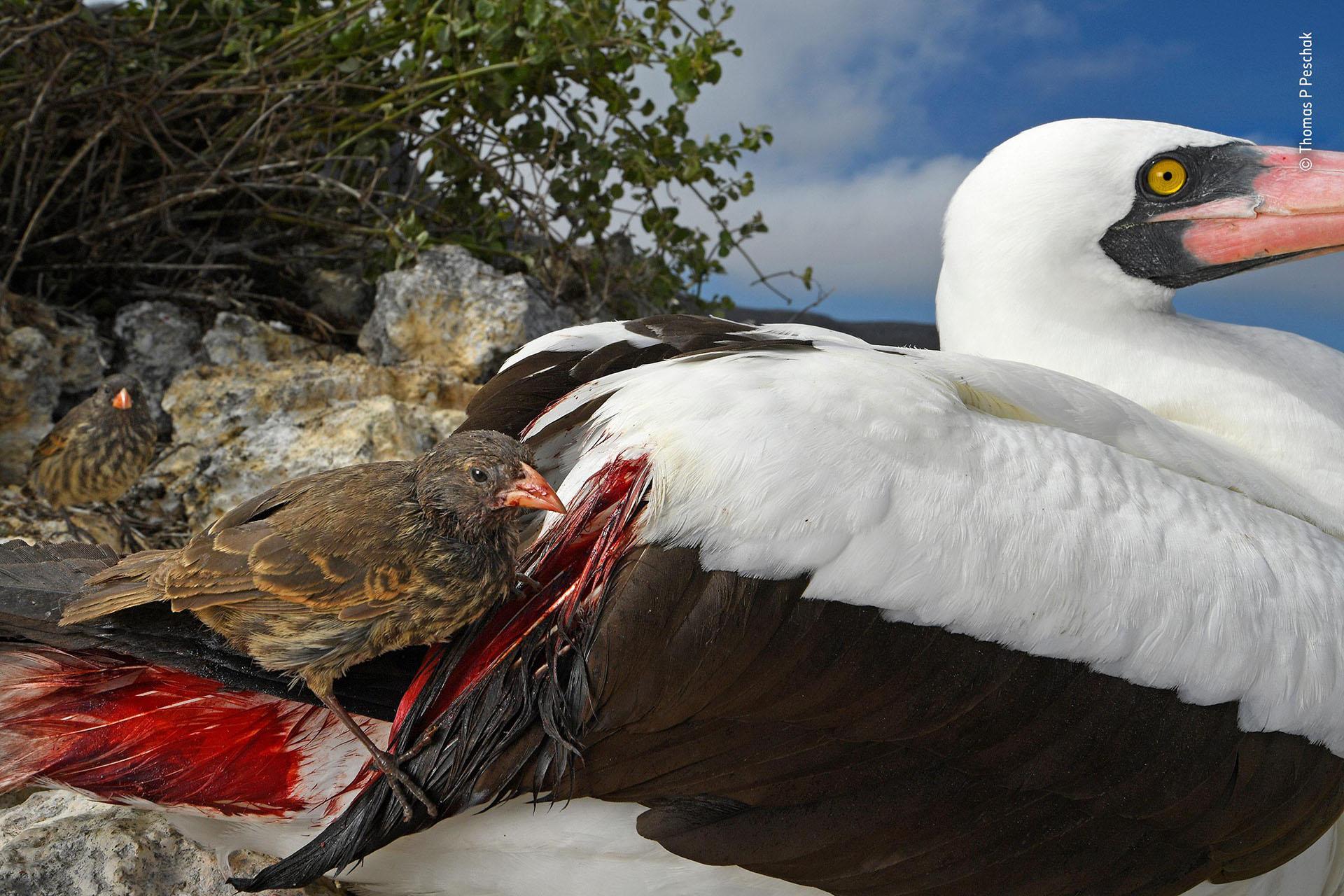"""Thomas P Peschak (Alemania-Sudáfrica), categoría Comportamiento de aves. """"Sediento de sangre"""", un pinzón terrestre de pico afilado bebe la sangre de otra especie ante la falta de alimentos, en Islas Galápagos"""