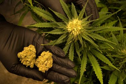 A diferencia de la marihuana de las décadas de 1980 y 1990, la actual tiene una concentración de THC mucho mayor.(Linda Davidson/The Washington Post)