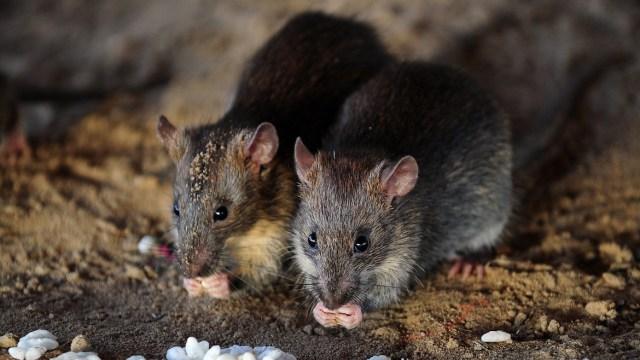 Una rata embarazada puede representar entre 15 y 18 mil nuevas ratas en un solo año