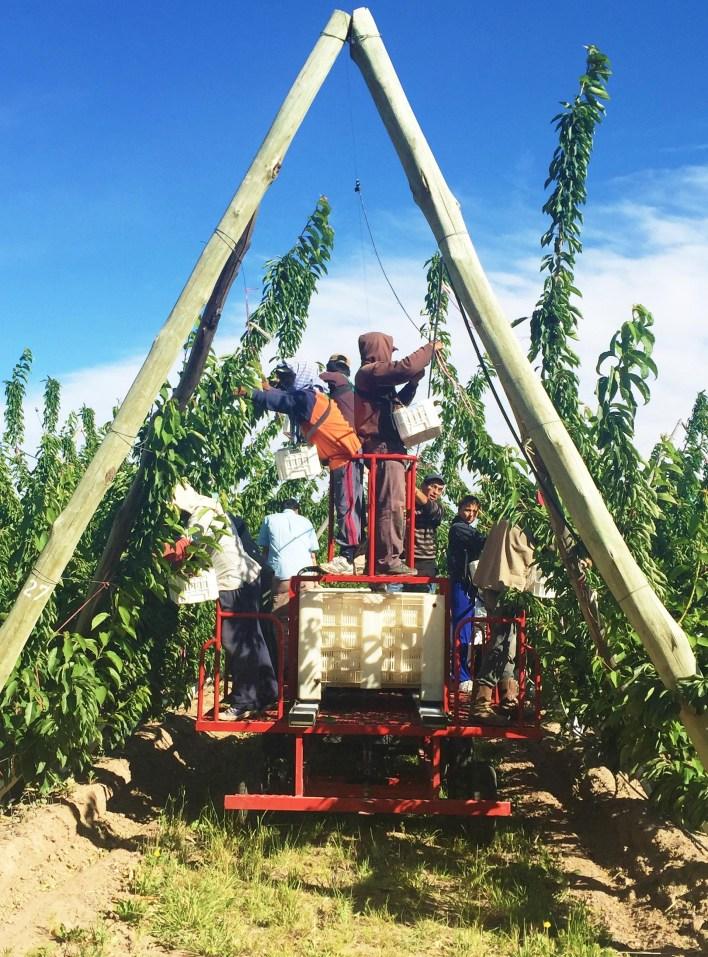 La producción de cerezas, una de las industrias que junto a la de peras y manzanas han sido postergadas por el boom petrolero