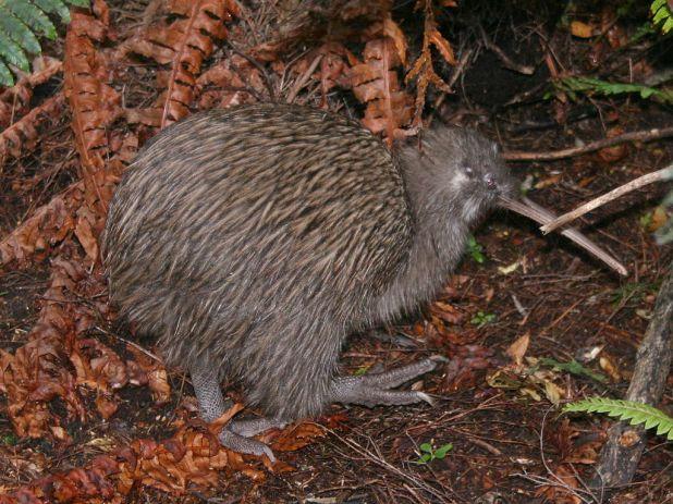 Para proteger el kiwi o apteryx, Nueva Zelandaeliminará a sus depredadores no nativos. (Glen Fergus/Wikipedia)