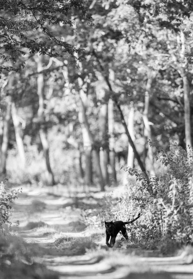 Burrard-Lucas había logrado ver al animal en un paseo en la India, lo que lo motivó a conseguir el objetivo más difícil: retratarlo en el continente africano