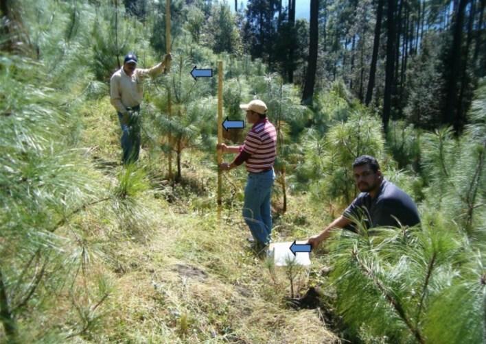 En los últimos años, el equipo de investigadores ha supervisado la reubicación de alrededor de 1,000 árboles jóvenes que crecían en altitudes más bajas hasta elevaciones más altas y más frías Foto: (Semarnat)