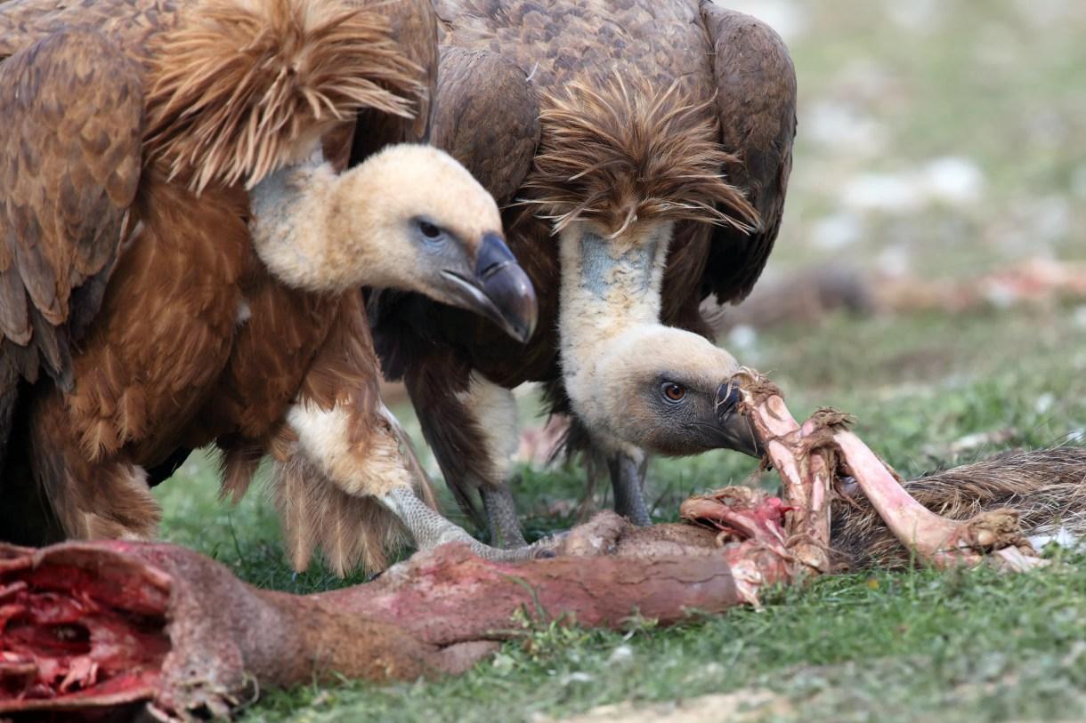 Buitres leonados comiendo. Karel Bartik/Shutterstock