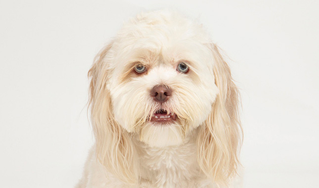 Lhasapoo Breed Information