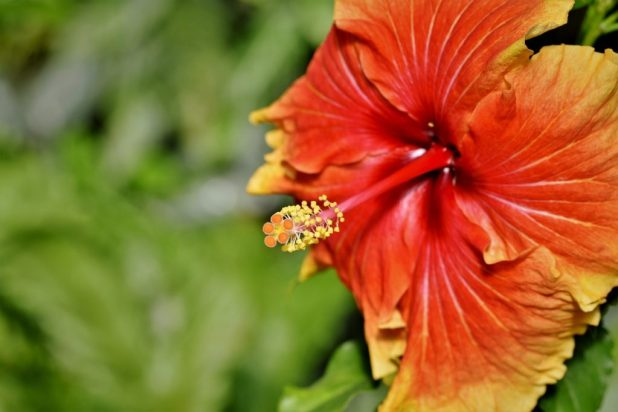 Hibiscus Benefits + Ayurvedic Home Remedies (Japa Pushpa)