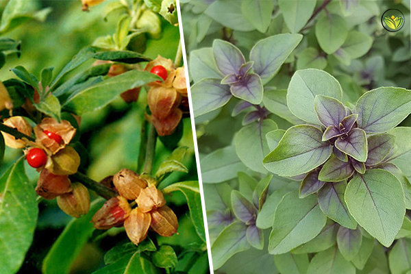 Ashwagandha on the left, Tulsi on the right. Both offer stress relief and numerous other health benefits.