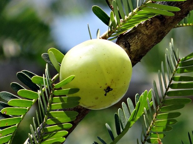 Amla fruit, one of the three fruits in Triphala, on a tree. Can you take Ashwagandha and Triphala together?