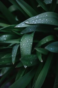 Dewdrops on leaves. How to do an Ayurvedic facial.