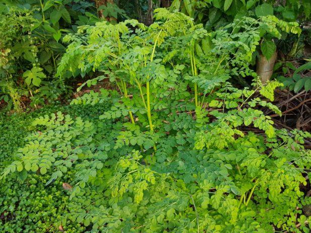 moringa uses, benefits, Ayurvedic uses of moringa