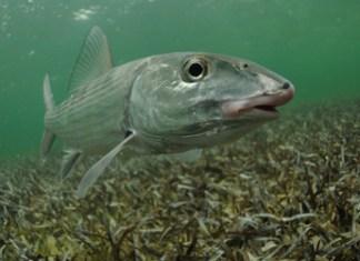 Bonefish near Inagua, Bahamas