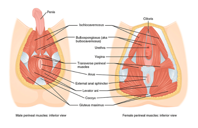 What does your Pelvic Floor do? Treatments