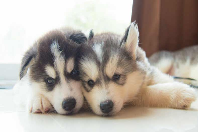 Cute Newborn Baby Girl Wallpaper 36 Husky Dog Names Perfect For Your New Best Friend