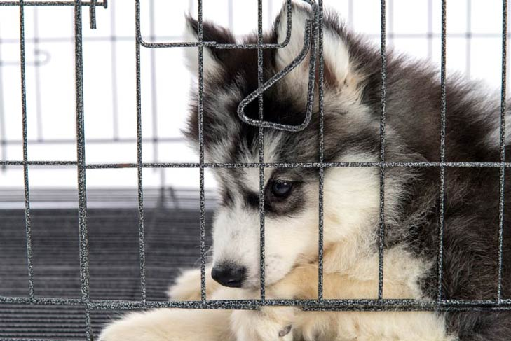 Siberian Husky puppy in a crate