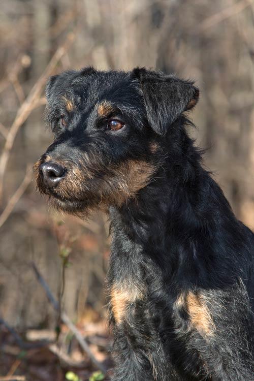Jagdterrier Dog Breed Information American Kennel Club
