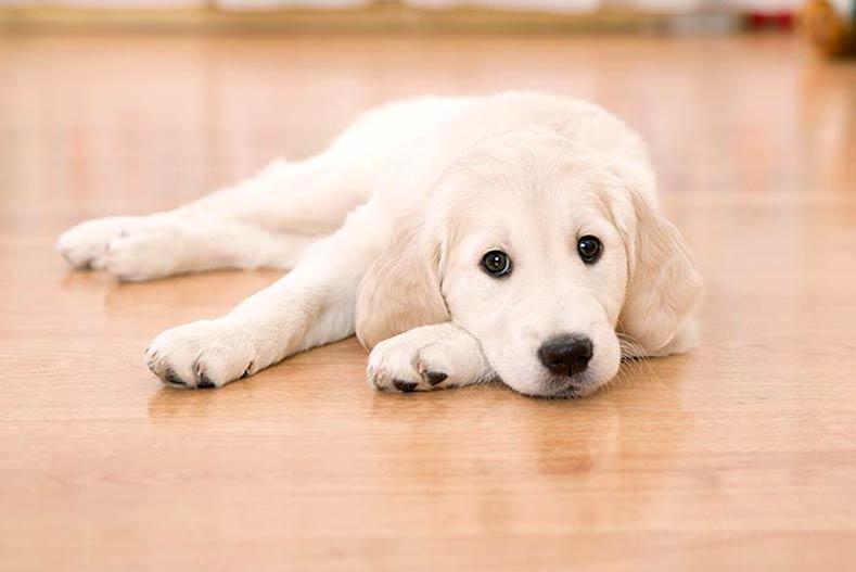 Big Dogs And Hardwood Floors