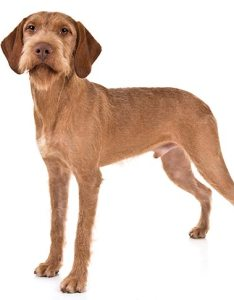 Wirehaired vizsla standing in three quarter view facing forward also dog breed information rh akc
