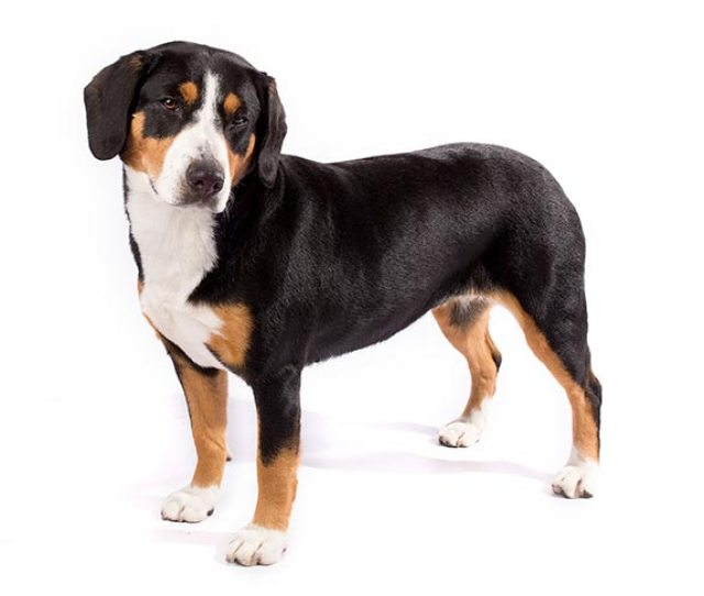 Entlebucher Mountain Dog Standing In Three Quarter View Facing Left Head Turned Right